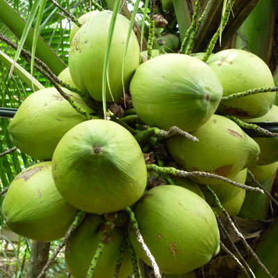 Coconut hk