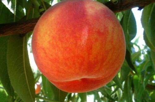 glohaven_peach