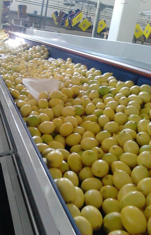138 size lemon