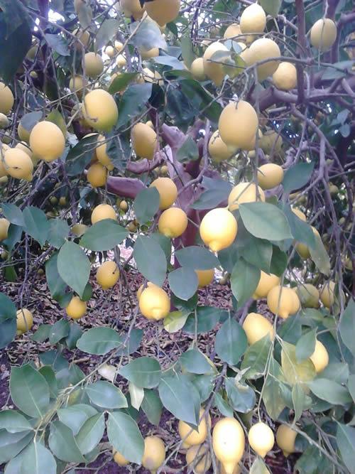 lamas lemon december